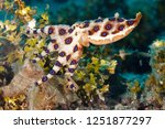 greater blue ringed octopus ... | Shutterstock . vector #1251877297