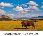 Bison Paradise In Yellowstone...