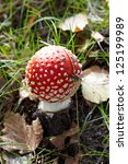 Closeup of fly agaric mushroom in a forest - stock photo