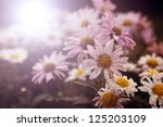 lots of white flowers in sunset | Shutterstock . vector #125203109