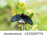 The Great Mormon Butterfly Wit...