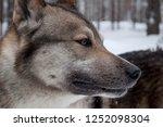 husky in nature | Shutterstock . vector #1252098304