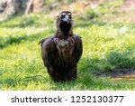 Cinereous Vulture Sitting On...