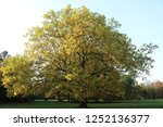 Powerful Plane Tree In The...