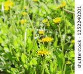 shaggy bumblebee pollinates...   Shutterstock . vector #1252240201