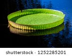 Close Up Of Huge Lily Pad