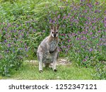 a swamp wallaby also called a ... | Shutterstock . vector #1252347121