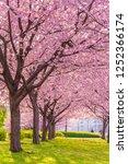spring in japan  the shioiri... | Shutterstock . vector #1252366174