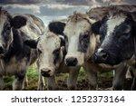 curious shaggy cows huddled... | Shutterstock . vector #1252373164