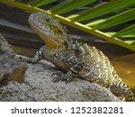 australian water dragon on... | Shutterstock . vector #1252382281