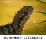 australian water dragon on... | Shutterstock . vector #1252382671