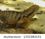 australian water dragon on... | Shutterstock . vector #1252383151