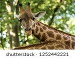 the giraffe  giraffa... | Shutterstock . vector #1252442221
