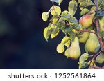 pears are the branches of a...   Shutterstock . vector #1252561864