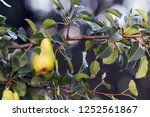 pears are the branches of a...   Shutterstock . vector #1252561867