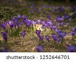 blooming violet and blue... | Shutterstock . vector #1252646701