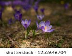 blooming violet and blue... | Shutterstock . vector #1252646704