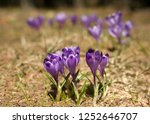 blooming violet and blue... | Shutterstock . vector #1252646707