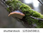 Orange Bracket Fungi On Tree...