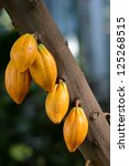 Cocoa  Cacao  Pods On Tree...