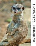 meerkat  suricate  suricata...   Shutterstock . vector #1252766041