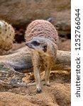 meerkat  suricate  suricata...   Shutterstock . vector #1252766044