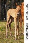 new born foal. bay roan...   Shutterstock . vector #1252870687