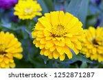 Yellow Zinnia Flowers In Garden