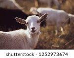 cute goat grazing on grass... | Shutterstock . vector #1252973674