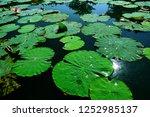 the pond is full of lotuses. | Shutterstock . vector #1252985137
