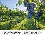 grape harvest italy | Shutterstock . vector #1253102617