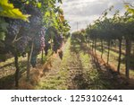 grape harvest italy | Shutterstock . vector #1253102641