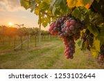 grape harvest italy | Shutterstock . vector #1253102644