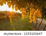 grape harvest italy | Shutterstock . vector #1253102647