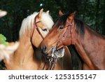 two beautiful cuddling horses... | Shutterstock . vector #1253155147