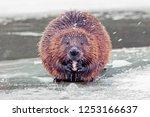 Funny brown american beaver ...