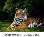 The Portrait Of Sumatran Tiger