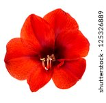 Amaryllis. Red Flower With...
