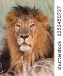 An Asiatic Male Lion Sitting I...