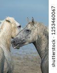 muddy white camargue horses... | Shutterstock . vector #1253460067