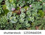 Group Of Ground Cover Plant...