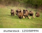 Small photo of Group of wild boars, sus scrofa, running in spring nature. Action wildlife scenery of a family with small piglets moving fast forward to escape from danger.