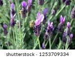 silver anouk spanish lavender | Shutterstock . vector #1253709334