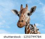 cute giraffe face in the... | Shutterstock . vector #1253799784