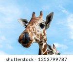cute giraffe face in the... | Shutterstock . vector #1253799787