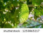 bitter melon  balsam pear ... | Shutterstock . vector #1253865217