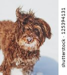 Brown Schnoodle  Schnauzer And...