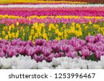 tulip field in nabana no sato ... | Shutterstock . vector #1253996467