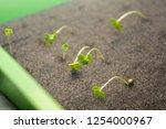 growing organic hydroponic... | Shutterstock . vector #1254000967