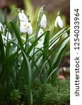 spring. among a sedum in drops... | Shutterstock . vector #1254033964